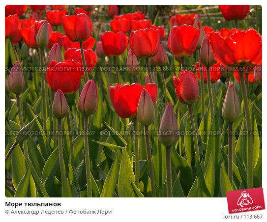 Море тюльпанов, фото № 113667, снято 7 мая 2006 г. (c) Александр Леденев / Фотобанк Лори