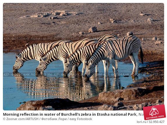 Morning reflection in water of Burchell's zebra in Etosha national Park, Namibia wildlife wildlife safari. Стоковое фото, фотограф Zoonar.com/ARTUSH / easy Fotostock / Фотобанк Лори