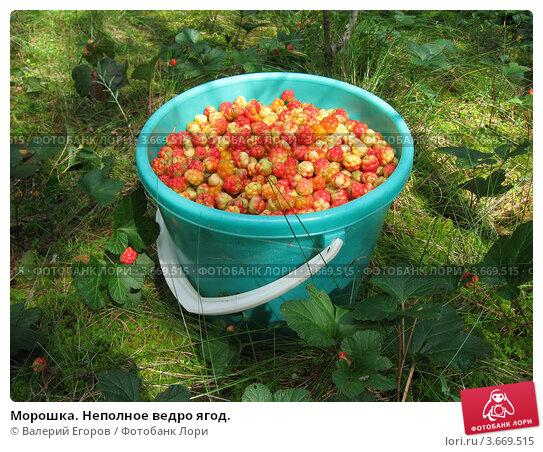 Морошка. Неполное ведро ягод. Стоковое фото, фотограф Валерий Егоров / Фотобанк Лори