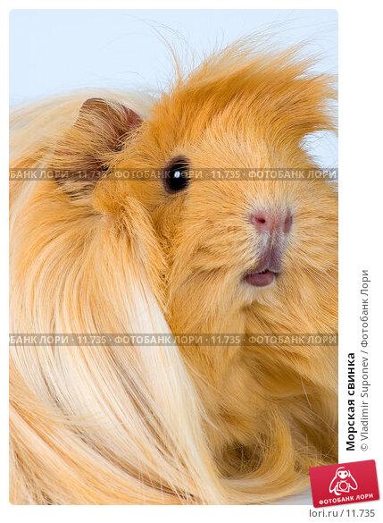 Купить «Морская свинка», фото № 11735, снято 25 декабря 2005 г. (c) Vladimir Suponev / Фотобанк Лори