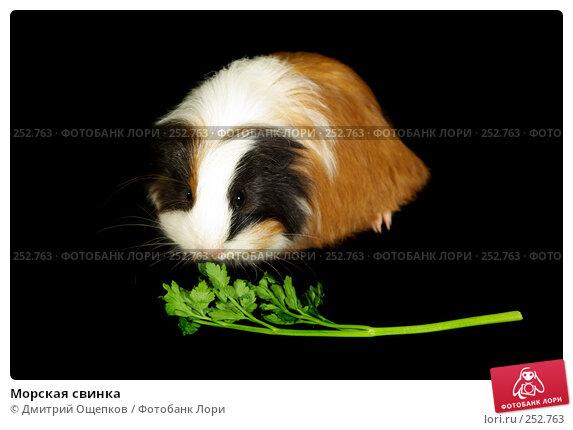 Морская свинка, фото № 252763, снято 12 февраля 2007 г. (c) Дмитрий Ощепков / Фотобанк Лори