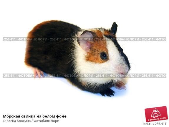 Купить «Морская свинка на белом фоне», фото № 256411, снято 15 апреля 2008 г. (c) Елена Блохина / Фотобанк Лори