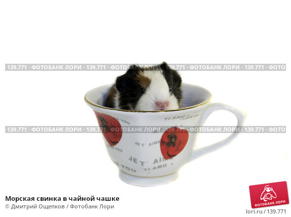 Купить «Морская свинка в чайной чашке», фото № 139771, снято 23 декабря 2006 г. (c) Дмитрий Ощепков / Фотобанк Лори