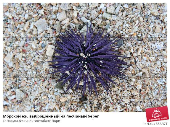 Морской еж, выброшенный на песчаный берег, фото № 332371, снято 4 мая 2008 г. (c) Лариса Фокина / Фотобанк Лори