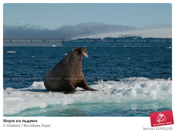 Купить «Морж на льдине», фото № 12910215, снято 2 июля 2006 г. (c) Vladimir / Фотобанк Лори