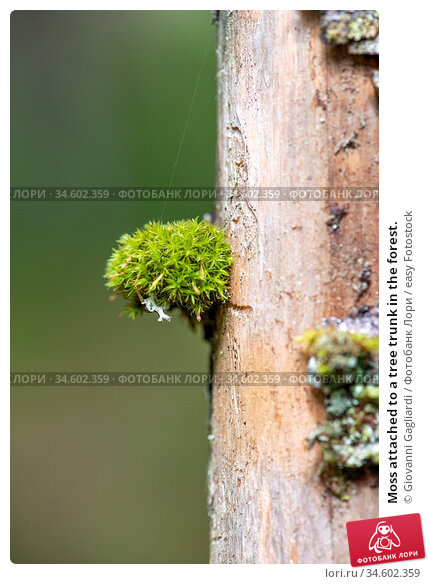 Moss attached to a tree trunk in the forest. Стоковое фото, фотограф Giovanni Gagliardi / easy Fotostock / Фотобанк Лори