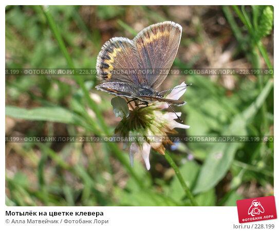 Мотылёк на цветке клевера, фото № 228199, снято 16 июля 2006 г. (c) Алла Матвейчик / Фотобанк Лори