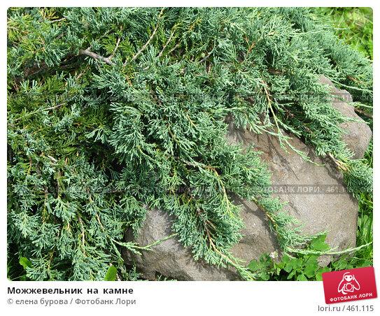 Купить «Можжевельник  на  камне», фото № 461115, снято 19 июля 2008 г. (c) елена бурова / Фотобанк Лори