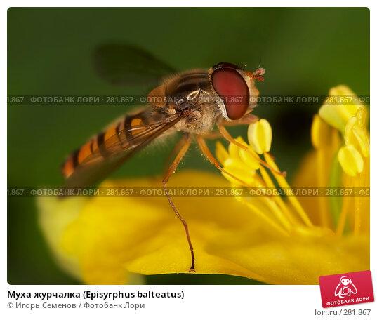 Муха журчалка (Episyrphus balteatus), фото № 281867, снято 28 августа 2006 г. (c) Игорь Семенов / Фотобанк Лори