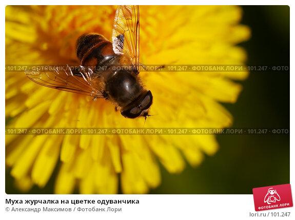 Муха журчалка на цветке одуванчика, фото № 101247, снято 23 сентября 2006 г. (c) Александр Максимов / Фотобанк Лори