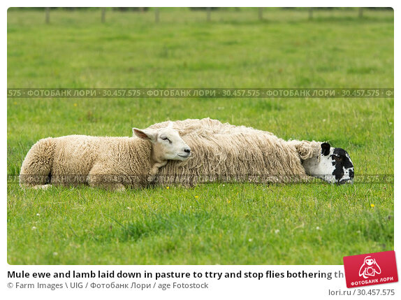 Mule ewe and lamb laid down in pasture to ttry and stop flies bothering them. Стоковое фото, фотограф Farm Images \ UIG / age Fotostock / Фотобанк Лори