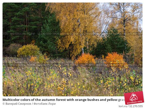 Купить «Multicolor colors of the autumn forest with orange bushes and yellow grass», фото № 32270555, снято 5 октября 2019 г. (c) Валерий Смирнов / Фотобанк Лори