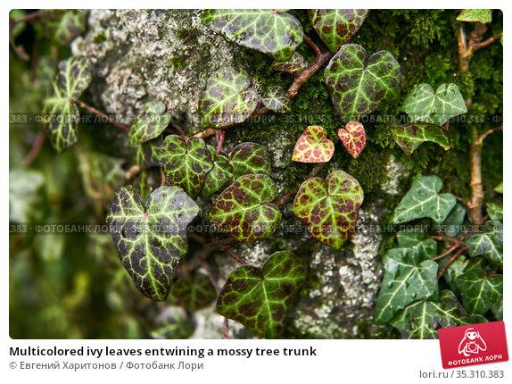 Multicolored ivy leaves entwining a mossy tree trunk. Стоковое фото, фотограф Евгений Харитонов / Фотобанк Лори