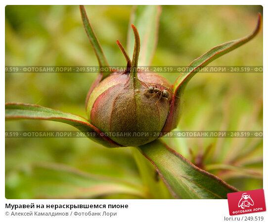 Муравей на нераскрывшемся пионе, фото № 249519, снято 4 июня 2005 г. (c) Алексей Камалдинов / Фотобанк Лори