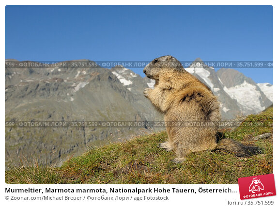 Murmeltier, Marmota marmota, Nationalpark Hohe Tauern, Österreich... Стоковое фото, фотограф Zoonar.com/Michael Breuer / age Fotostock / Фотобанк Лори