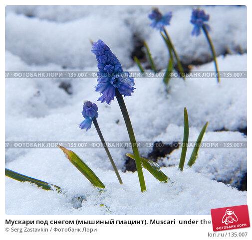 Мускари под снегом (мышиный гиацинт). Muscari  under the snow, фото № 135007, снято 2 мая 2006 г. (c) Serg Zastavkin / Фотобанк Лори