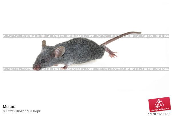 Мышь, фото № 120179, снято 23 октября 2016 г. (c) Estet / Фотобанк Лори