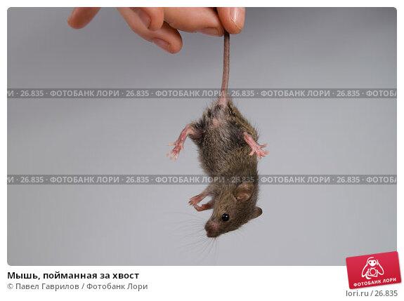 Мышь, пойманная за хвост, фото № 26835, снято 18 марта 2007 г. (c) Павел Гаврилов / Фотобанк Лори