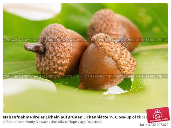 Nahaufnahme dreier Eicheln auf grünen Eichenblättern. Close-up of three acorns on green oak leaves. Стоковое фото, фотограф Zoonar.com/Andy Nowack / age Fotostock / Фотобанк Лори