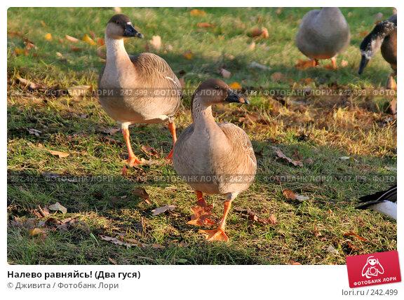 Налево равняйсь! (Два гуся), фото № 242499, снято 29 октября 2007 г. (c) Дживита / Фотобанк Лори