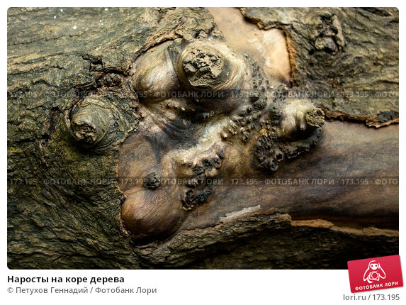 Наросты на коре дерева, фото № 173195, снято 10 августа 2007 г. (c) Петухов Геннадий / Фотобанк Лори