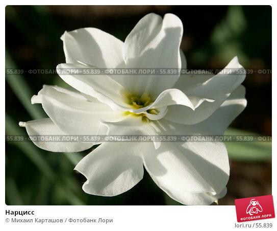 Нарцисс, эксклюзивное фото № 55839, снято 27 мая 2007 г. (c) Михаил Карташов / Фотобанк Лори