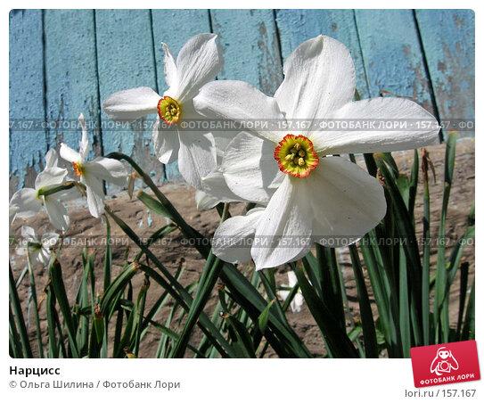 Нарцисс, фото № 157167, снято 14 мая 2007 г. (c) Ольга Шилина / Фотобанк Лори