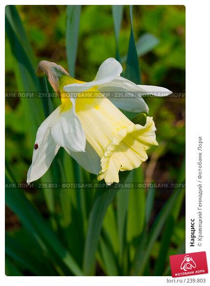 Нарцисс, фото № 239803, снято 26 октября 2016 г. (c) Кравецкий Геннадий / Фотобанк Лори