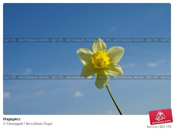 Нарцисс, фото № 267175, снято 27 апреля 2008 г. (c) Геннадий / Фотобанк Лори