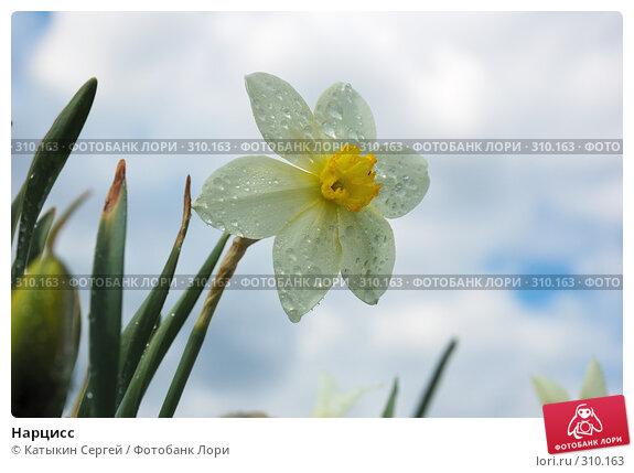 Купить «Нарцисс», фото № 310163, снято 9 мая 2008 г. (c) Катыкин Сергей / Фотобанк Лори