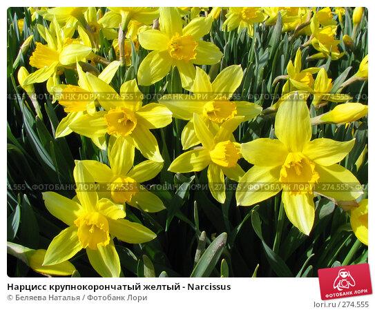 Купить «Нарцисс крупнокорончатый желтый - Narcissus», фото № 274555, снято 20 мая 2006 г. (c) Беляева Наталья / Фотобанк Лори