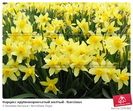 Нарцисс крупнокорончатый желтый - Narcissus, фото № 274563, снято 24 мая 2006 г. (c) Беляева Наталья / Фотобанк Лори