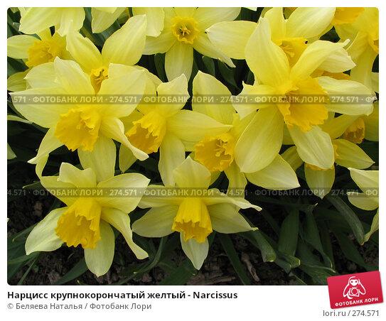 Нарцисс крупнокорончатый желтый - Narcissus, фото № 274571, снято 24 мая 2006 г. (c) Беляева Наталья / Фотобанк Лори