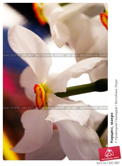 Купить «Нарцисс, макро», фото № 241087, снято 27 апреля 2018 г. (c) Кравецкий Геннадий / Фотобанк Лори