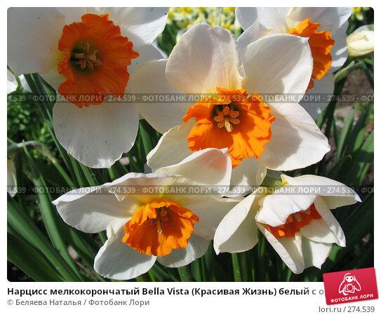 Нарцисс мелкокорончатый Bella Vista (Красивая Жизнь) белый с оранжевой коронкой - Narcissus, фото № 274539, снято 31 мая 2006 г. (c) Беляева Наталья / Фотобанк Лори