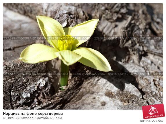 Нарцисс на фоне коры дерева, фото № 277587, снято 25 апреля 2008 г. (c) Евгений Захаров / Фотобанк Лори