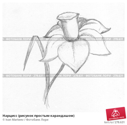 Купить «Нарцисс (рисунок простым карандашом)», иллюстрация № 278631 (c) Ivan Markeev / Фотобанк Лори