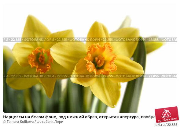 Нарциссы на белом фоне, под нижний обрез, открытая апертура, изображение выцветает в чистый белый сверху и справа, фото № 22855, снято 10 марта 2007 г. (c) Tamara Kulikova / Фотобанк Лори