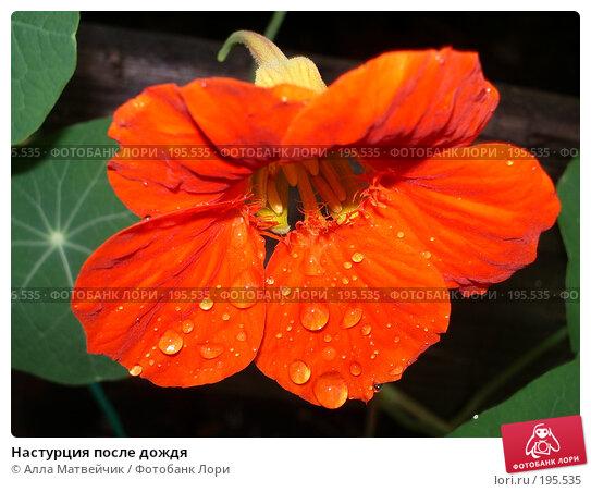 Купить «Настурция после дождя», фото № 195535, снято 13 августа 2005 г. (c) Алла Матвейчик / Фотобанк Лори