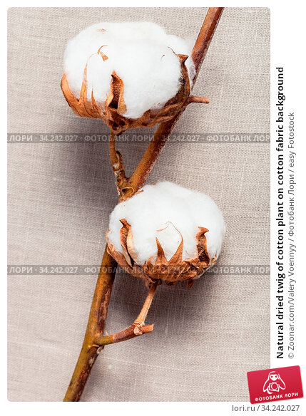 Natural dried twig of cotton plant on cotton fabric background. Стоковое фото, фотограф Zoonar.com/Valery Voennyy / easy Fotostock / Фотобанк Лори