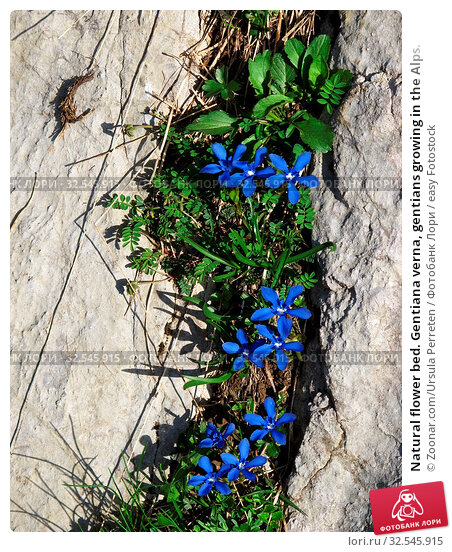 Купить «Natural flower bed. Gentiana verna, gentians growing in the Alps.», фото № 32545915, снято 7 декабря 2019 г. (c) easy Fotostock / Фотобанк Лори