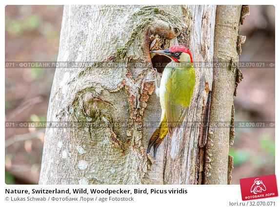 Nature, Switzerland, Wild, Woodpecker, Bird, Picus viridis. Стоковое фото, фотограф Lukas Schwab / age Fotostock / Фотобанк Лори