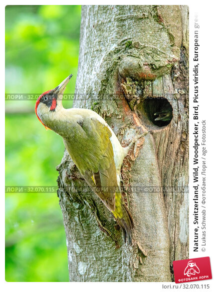 Nature, Switzerland, Wild, Woodpecker, Bird, Picus viridis, European green woodpecker. Стоковое фото, фотограф Lukas Schwab / age Fotostock / Фотобанк Лори
