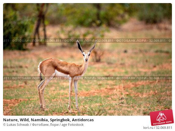 Nature, Wild, Namibia, Springbok, Antidorcas. Стоковое фото, фотограф Lukas Schwab / age Fotostock / Фотобанк Лори