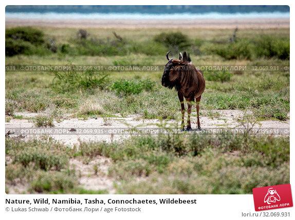 Nature, Wild, Namibia, Tasha, Connochaetes, Wildebeest. Стоковое фото, фотограф Lukas Schwab / age Fotostock / Фотобанк Лори