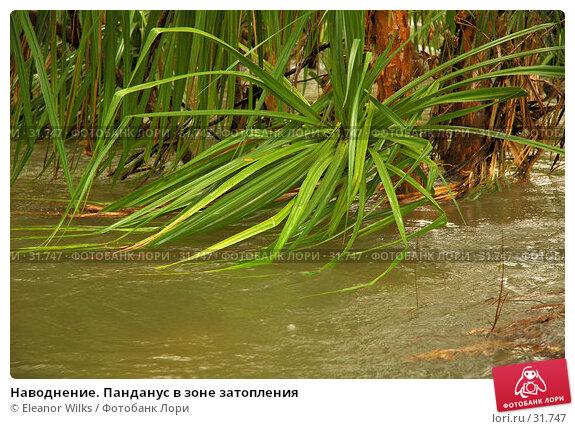 Наводнение. Панданус в зоне затопления, фото № 31747, снято 15 апреля 2007 г. (c) Eleanor Wilks / Фотобанк Лори