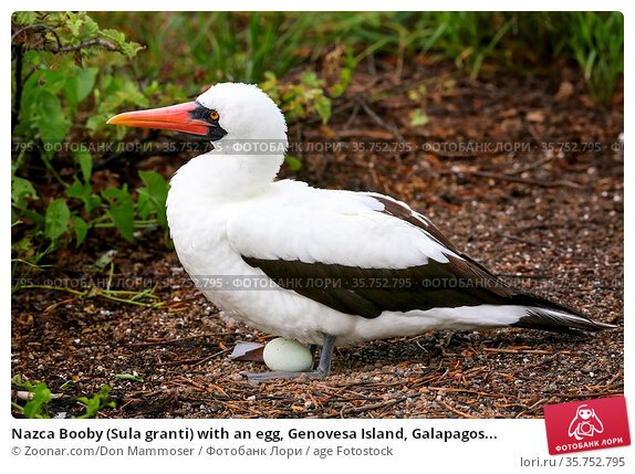 Nazca Booby (Sula granti) with an egg, Genovesa Island, Galapagos... Стоковое фото, фотограф Zoonar.com/Don Mammoser / age Fotostock / Фотобанк Лори