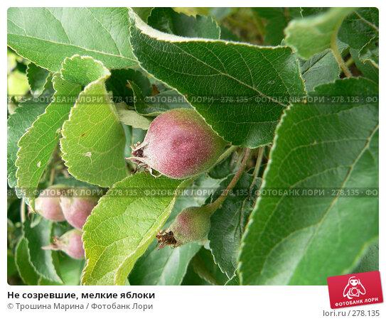 Не созревшие, мелкие яблоки, фото № 278135, снято 24 июня 2007 г. (c) Трошина Марина / Фотобанк Лори