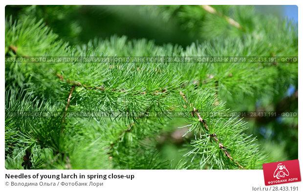 Купить «Needles of young larch in spring close-up», фото № 28433191, снято 16 мая 2018 г. (c) Володина Ольга / Фотобанк Лори