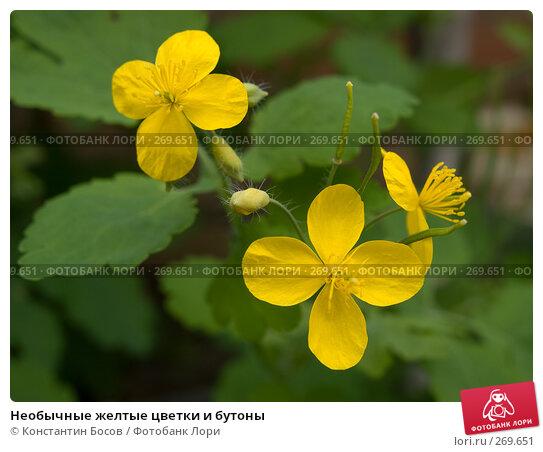 Необычные желтые цветки и бутоны, фото № 269651, снято 21 января 2017 г. (c) Константин Босов / Фотобанк Лори